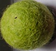 filc kroglice 2 cm, lemon green, 1 kos